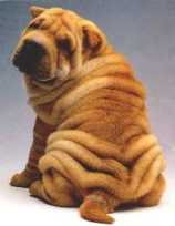 """This puppy is super cute... go on and google """"rapid weight loss skin folds"""" (at your peril)"""